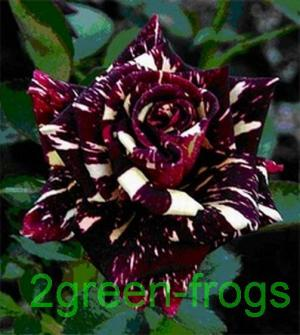 BLACK DRAGON ROSE 10 SEEDS *UNIQUE*EXOTIC*RARE*