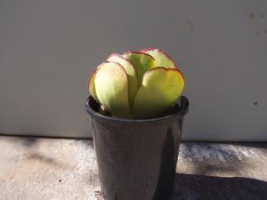 Cotyledon orbicular / Pigs ear plant