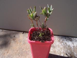 Mesembryanthemum / Pigface plant